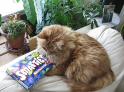 Giant Smarties Box Meets Giant Cat