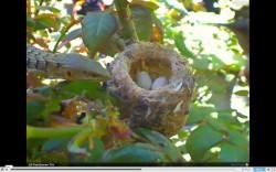 Lizard at the Hummingbird Nest
