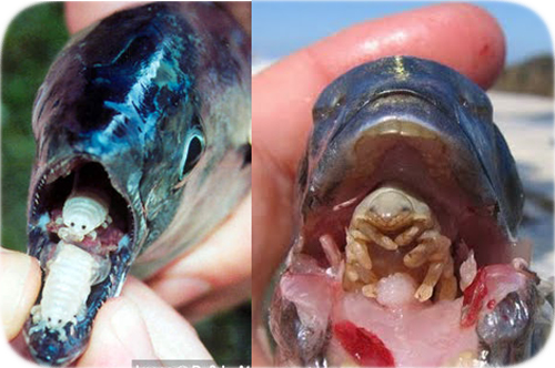 How much would you pay for this man s worms for Parasite that eats fish tongue